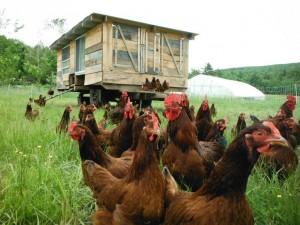 chickens 5