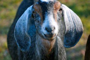 Flying goat farm