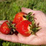 Mildred's Drumlin Farm strawberries