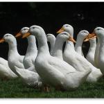 Duckling_081214